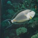 Fotografie eines gestreiften Doktorfisches (aus Sillner, Ludwig: Mit der Kamera auf Unterwasserjagd, S. 105)