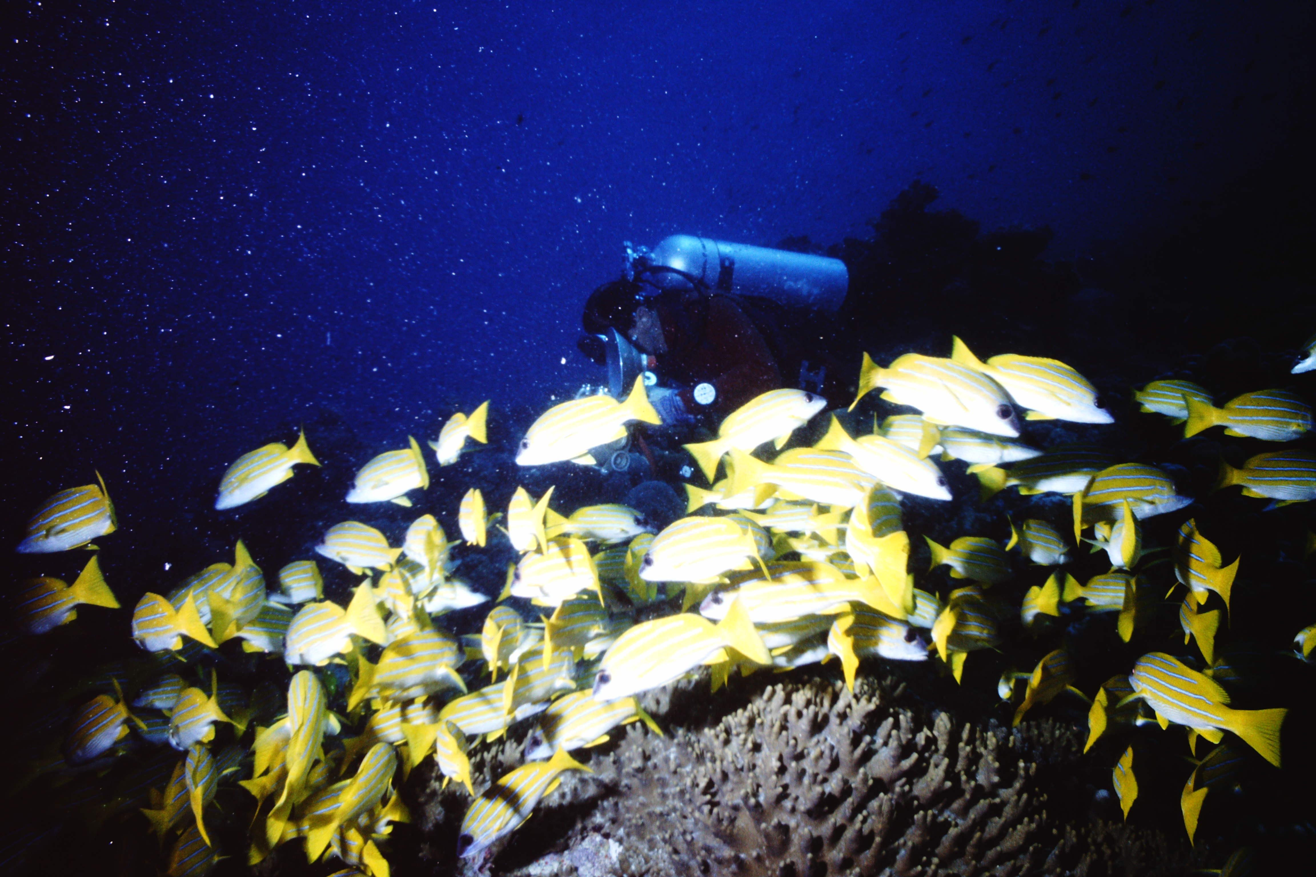 Forschungsfahrt zu den Malediven, Großschulen-Meerbarbe (Mulloides vanicolensis)